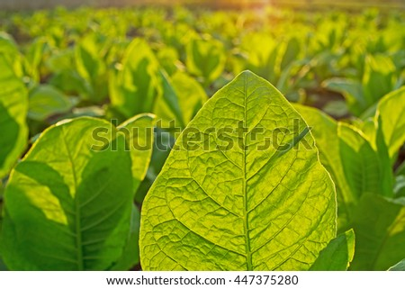 Tobacco leaf on blurred tobacco plantation field background at sunset, Germany - stock photo