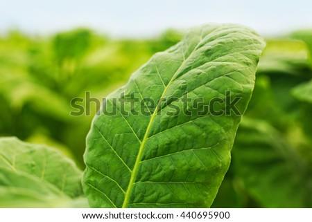 Tobacco leaf on blurred tobacco plantation field background, Germany - stock photo