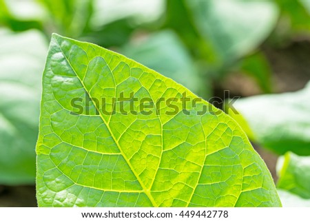 Tobacco leaf texture on blurred tobacco plantation sunny field background, close up - stock photo