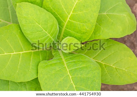 Tobacco leafs,  top view.  Fresh natural young tobacco plants in tobacco plantation field with sandy soil, close up, Germany - stock photo