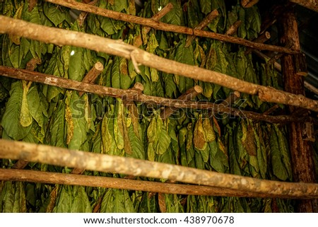 Tobacco leaves are harvested and hang to dry in the drying shed - stock photo