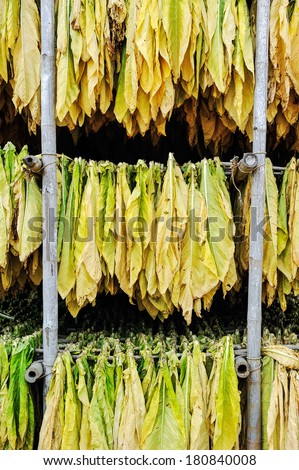 Tobacco leaves drying in shed. - stock photo