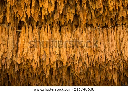 Tobacco leaves drying in the shed. - stock photo
