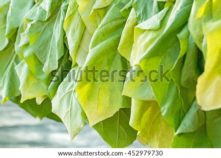 Tobacco leaves hanging to dry, tobacco crop - stock photo