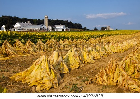 Tobacco on a Lancaster County, Pennsylvania farm is cut and staked for field drying before it is taken into the barn for more drying.  - stock photo