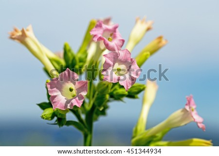 Tobacco pink flower on blue sky background - stock photo