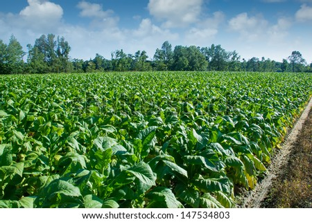 Tobacco plain (Nicotiana tabacum), the type species of the genus. Plantation with plants whose broken top flower bud