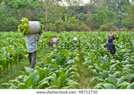 tobacco plant in garden of thailand - stock photo