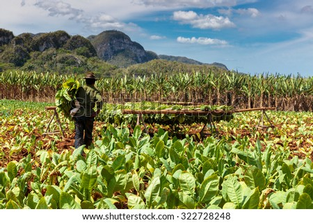 Tobacco plantation in the Vinales valley, north of Cuba - stock photo