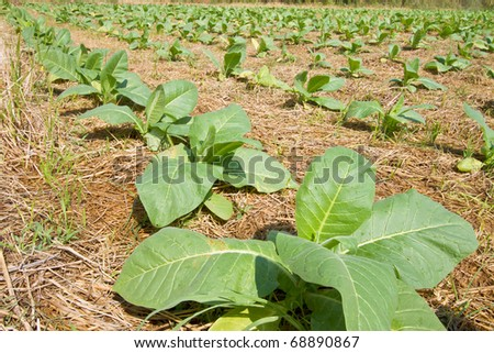 Tobacco plantations. - stock photo