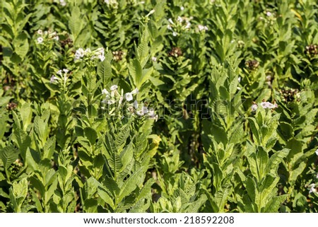 tobacco plants with flowers in tobacco field closeup - stock photo