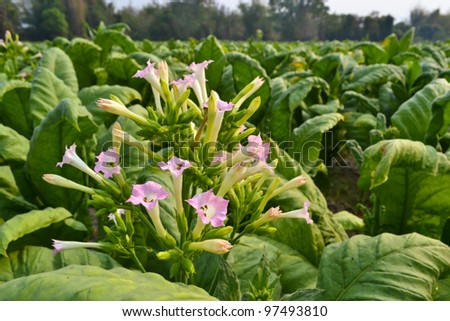 Tobacco's Flowers  in The Garden Of Thailand - stock photo