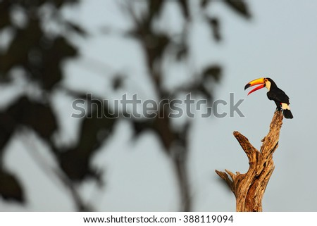 Toco Toucan, big bird with open orange bill, animal in the nature habitat, Pantanal, Brazil - stock photo