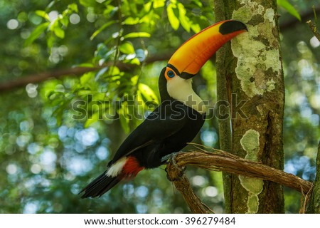 Toco toucan on branch lifting up beak