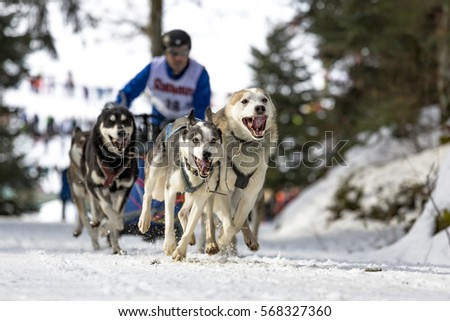 Todtmoos, Baden-Wuerttemberg, Germany - January 28, 2017: International dog sled race at Todtmoos / Black forest. Front view of sled dogs with male musher in the background.