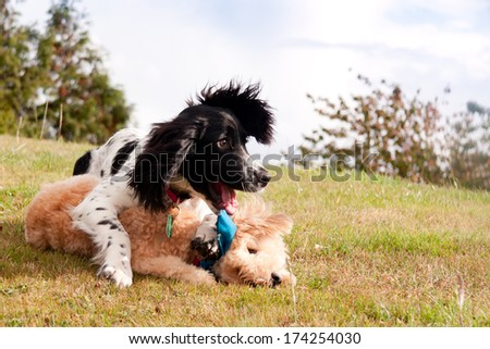 Togetherness-two puppies one a spaniel the other a bison frishe cross lie happily entwined on grassy bank as they play on a summers day. - stock photo