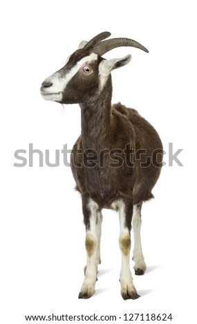 Toggenburg goat looking left against white background - stock photo