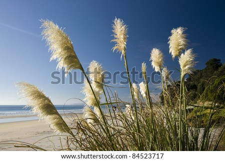 Toi toi plant on the edge of a beach , North island, New Zealand. - stock photo