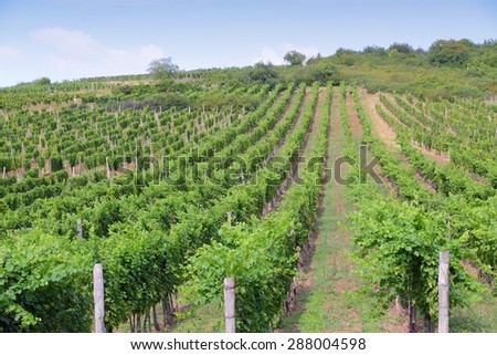 Tokaj, Hungary - wine growing region. Vineyard in summer.