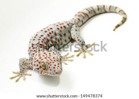 tokay gecko stock photo