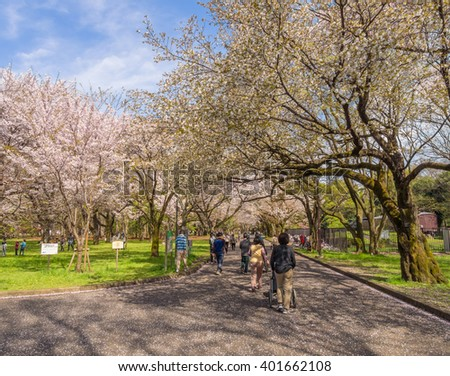 TOKYO, JAPAN - APR 6: Cherry blossoms in full bloom at Koganei Park on April 6, 2016 in Tokyo, Japan. Enjoying the transient beauty of cherry blossoms is the Japanese traditional custom.