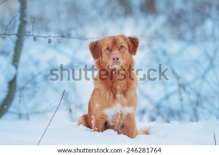 Toller portrait sitting in the snow - stock photo
