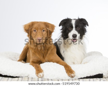 Toller puppy and border collie dog portrait. Image taken in a studio.