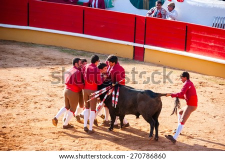 """TOMAR, PORTUGAL - OCTOBER 24: Forcados performing """"pega de torus"""", bull catch when one man hangs on the animal's head in portuguese style bullfight. In Tomar, October 24, 2010. - stock photo"""
