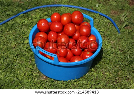 Tomato after harvesting in plastic bowl