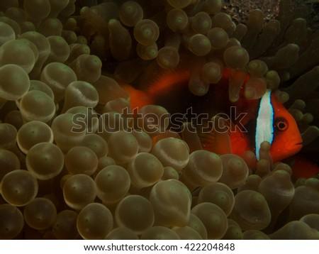 Tomato Anemone fish in the bubble tip anemone coral - stock photo
