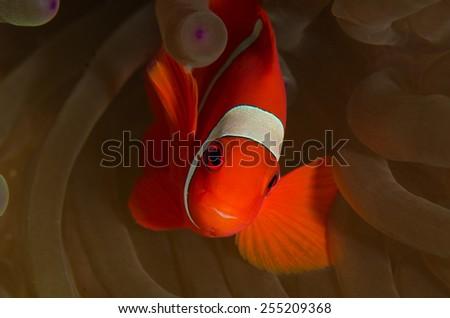 tomato anemone fish, in Wakatobi, Indonesia  - stock photo