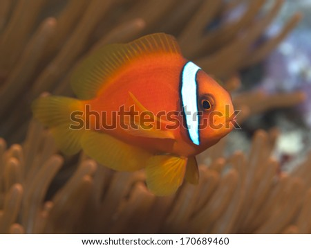 Tomato clownfish in Bohol sea, Phlippines Islands - stock photo