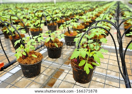 Tomato cultivation : cultured seedlings