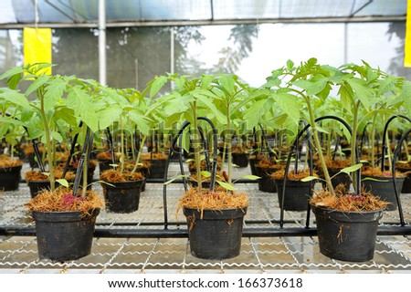 Tomato cultivation : cultured seedlings - stock photo