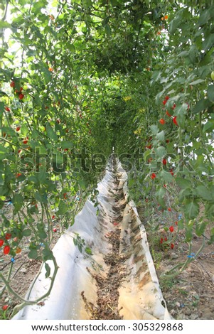 Tomato farm  - stock photo