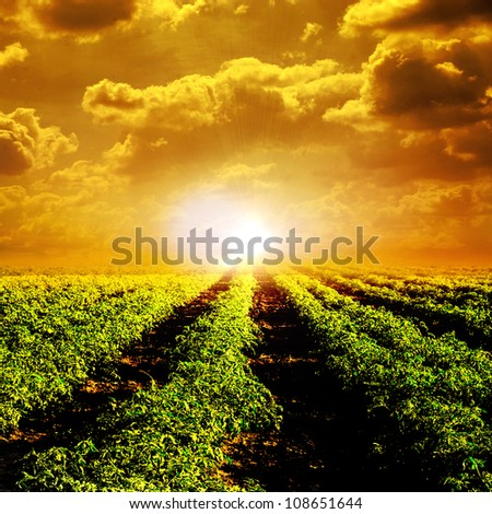 Tomato field and sun - stock photo