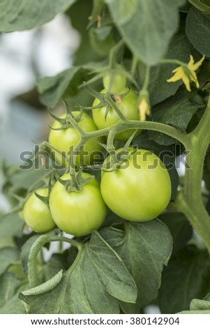 Tomato fruit not mature, green on plant