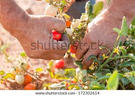 tomato harvest - stock photo
