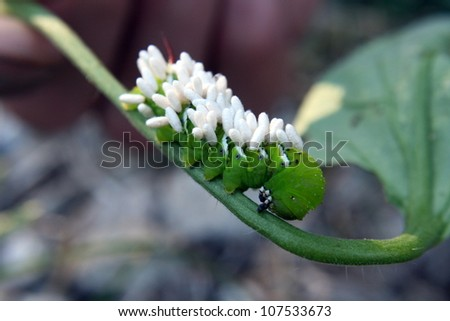 Tomato hornworm parasitized by a small braconid wasp, Cotesia congregatus.