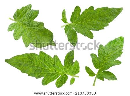 Tomato leaf closeup isolated on white - stock photo