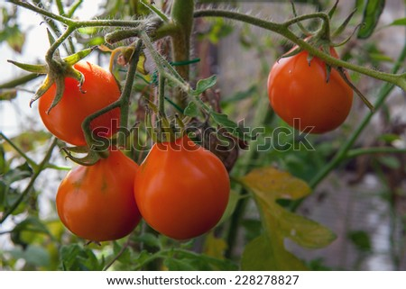 tomato on a bed