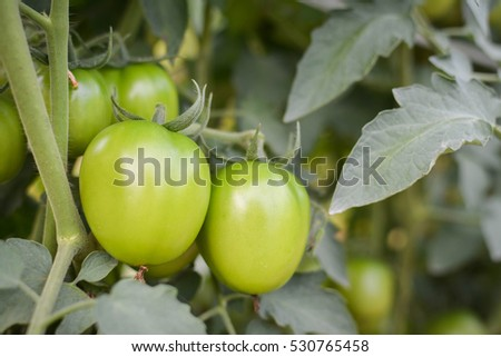 Tomato on a plant in the garden.from Thailand selective and soft focus