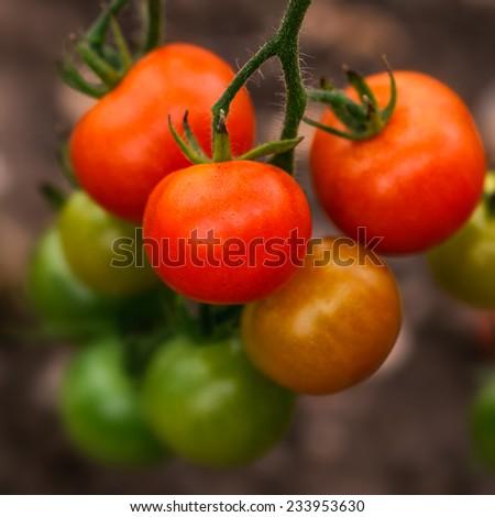 Tomato on the Vine - stock photo