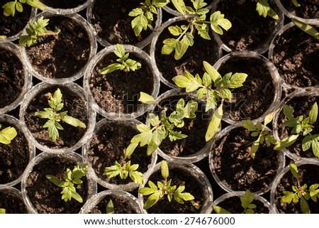tomato plant - stock photo