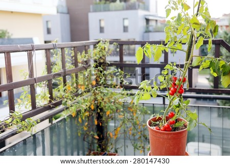 Tomato plant in the pot on the terrace of a house in the city - stock photo