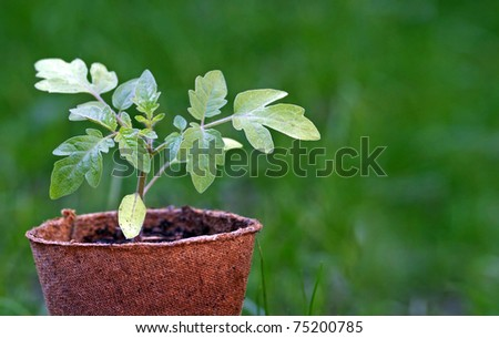 Tomato plant with copy space