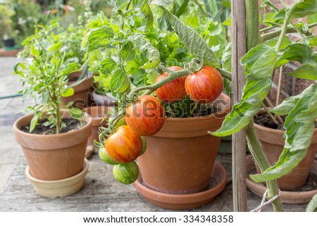 Tomato plant with green and red fruits / tomatoes / tomato plant