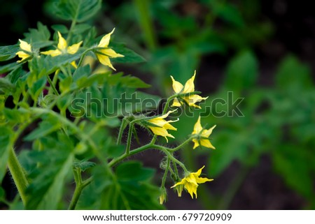 Tomato plant yellow flowers growing tomato stock photo royalty free tomato plant with yellow flowers growing tomato in the garden mightylinksfo