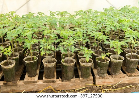 Tomato plants and cucumber plants  in vegetable greenhouses. Tomato seedling before planting into the soil, greenhouse plants, drip irrigation,  - stock photo
