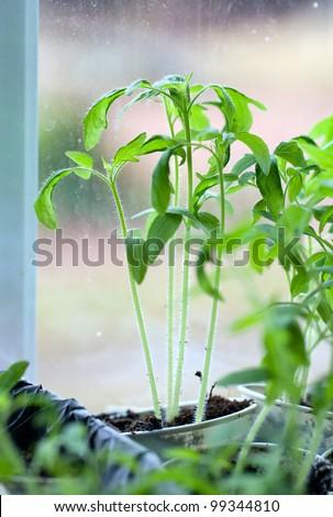 tomato plants on window sill - stock photo